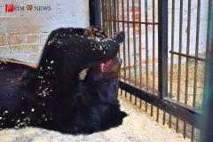 <strong>Гималайскому медведю Егору больше нравится есть сгущёнку лежа на спине</strong>