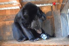 <strong>Гималайская медведица Марта с довольным урчанием поедает сгущёнку</strong>
