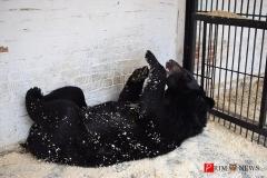<strong>Гималайскому медведю Егору нравится есть сгущёнку лежа на спине</strong>
