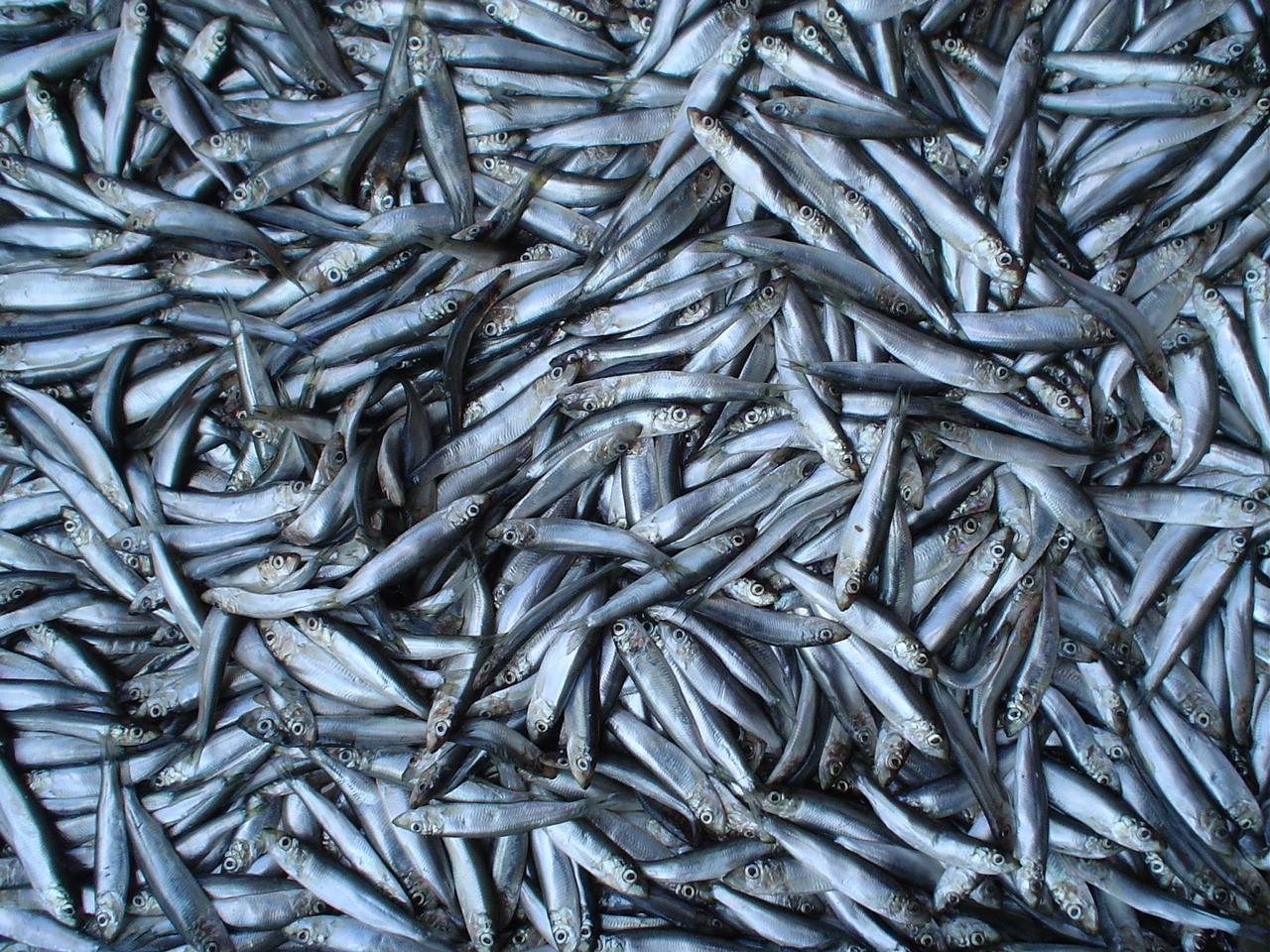 Анчоусы в Приморье стали массово выбрасываться на берег