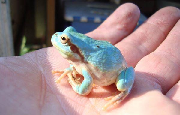 Уникальные небесно-голубые лягушки могут стать жертвами вырубки леса в пригороде Владивостока