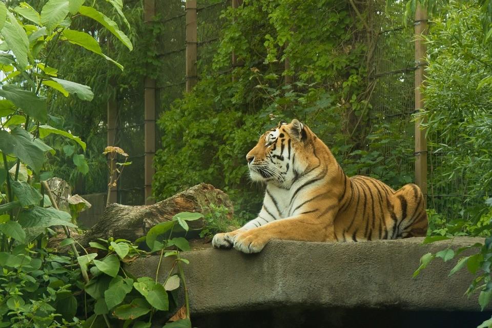 Стартовало голосование по выбору клички для тигра, гостившего во Владивостоке