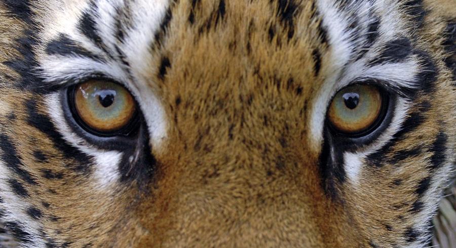 Стало известно, на сколько премировали инспекторов охотничьих угодий Приморья, где обитает амурский тигр
