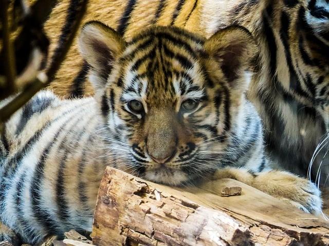 В приморском селе люди прятались от тигрицы на дереве
