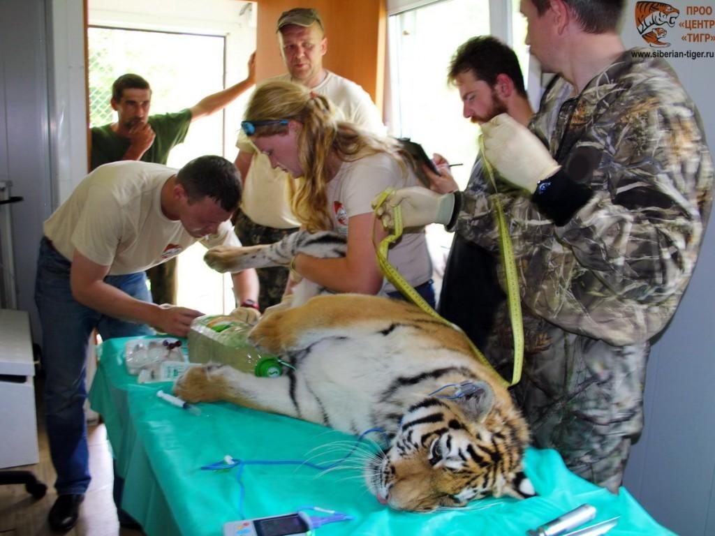 Тигрицу Филиппу выпустят в приморскую тайгу в 2017 году