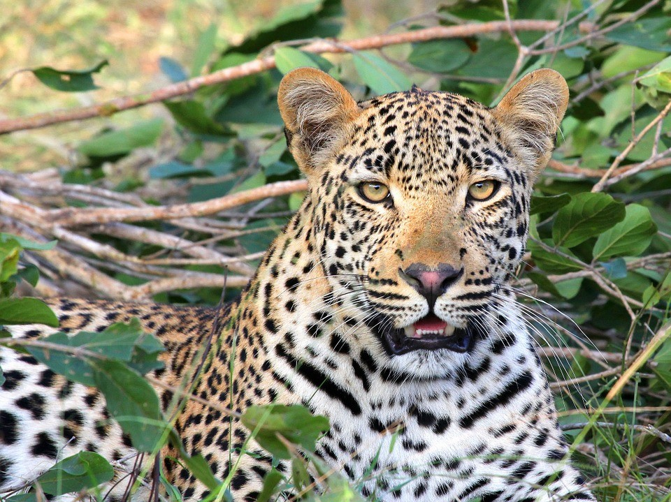 Состоялась премьера фильма о спасенном в Приморье леопарде Leo 80M