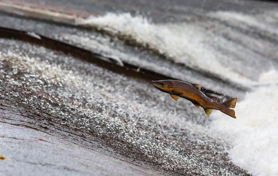 В Приморье проследят за нерестом тихоокеанских лососей