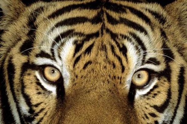 Тигру, который подружился с собакой, исполнился год