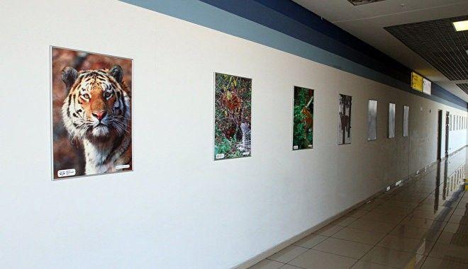 «Тигриная» фотовыставка открылась в аэропорту Владивостока