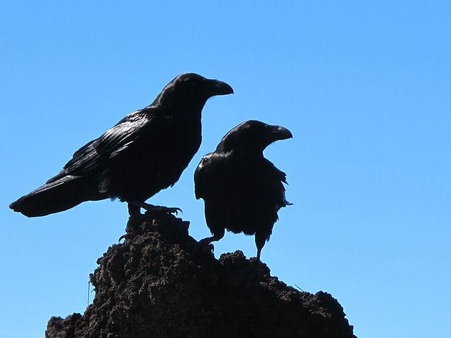 В Приморье ворона выдала судебным приставам алиментщицу