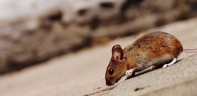 В аэропорту Владивосток, оставшемся без кошки Матроски, завелась мышь