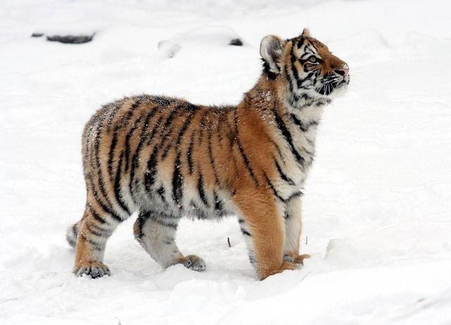 Названо оптимальное число особей амурского тигра для Дальнего Востока