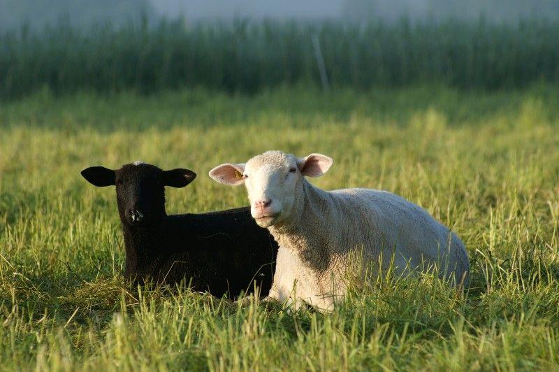 В Приморье произошла вспышка оспы овец
