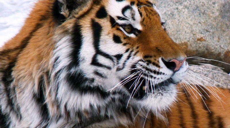 Вблизи приморского Дальнегорска тигр «попался» на видеокамеру