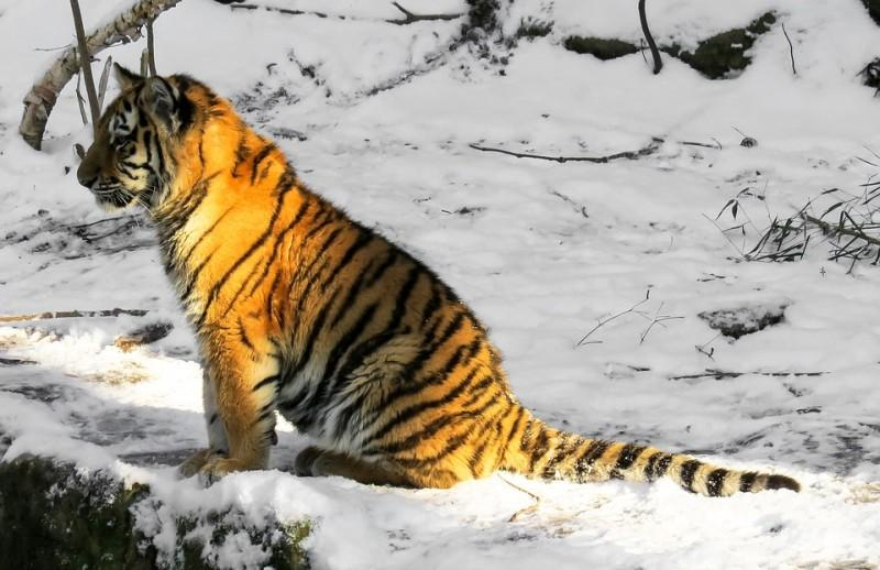 Потерявшегося в Приморье тигрёнка спасли специалисты