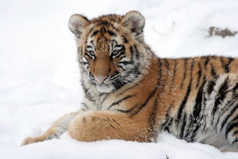 Специалисты продолжат искать потерявшегося тигрёнка в Приморье