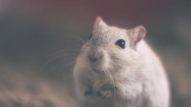 Крысы атаковали Владивосток