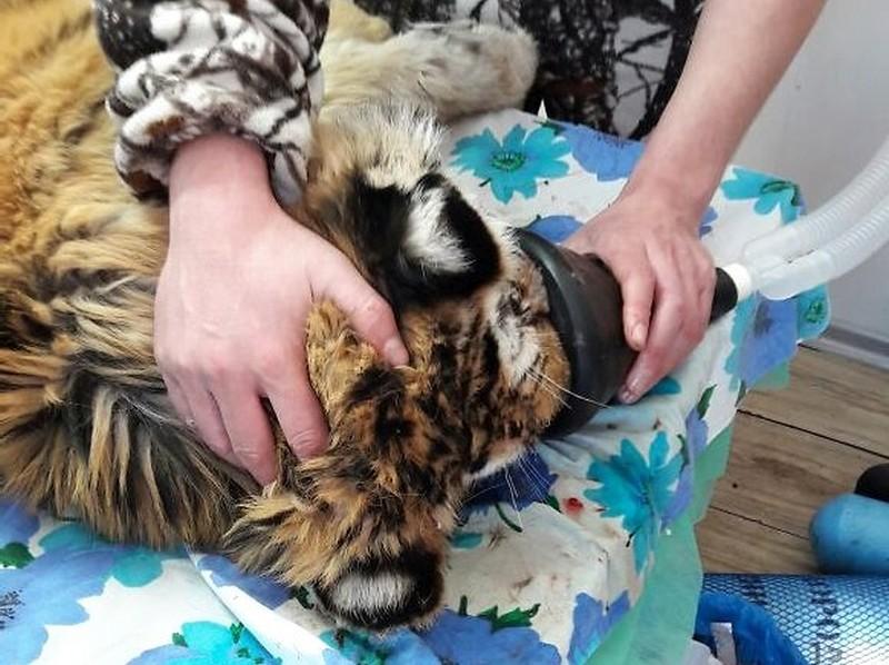 Раненому в Приморье тигрёнку сделали операцию