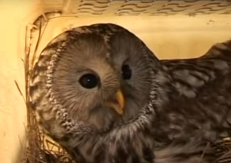 Приморец взял на выхаживание к себе домой раненую сову