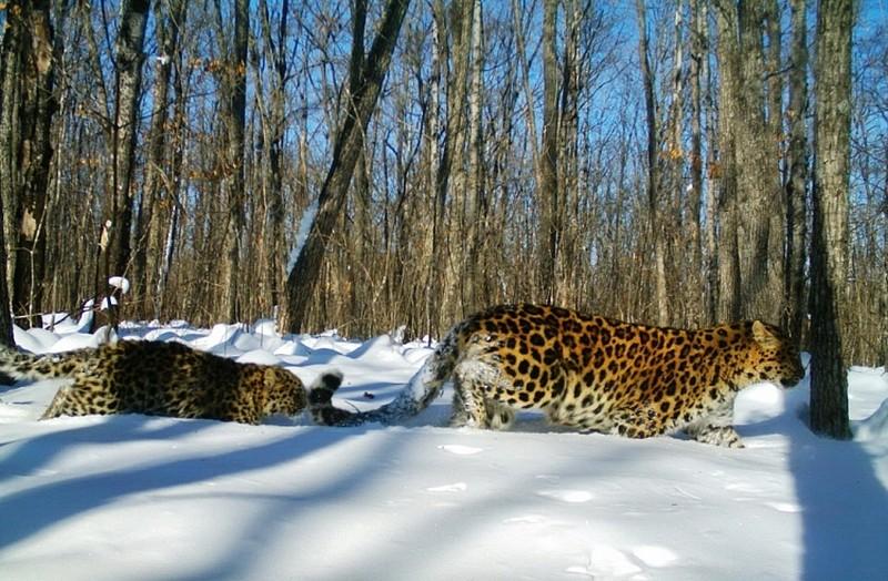 Пропавшая в Приморье леопардесса Алекса попала в объектив фотоловушки