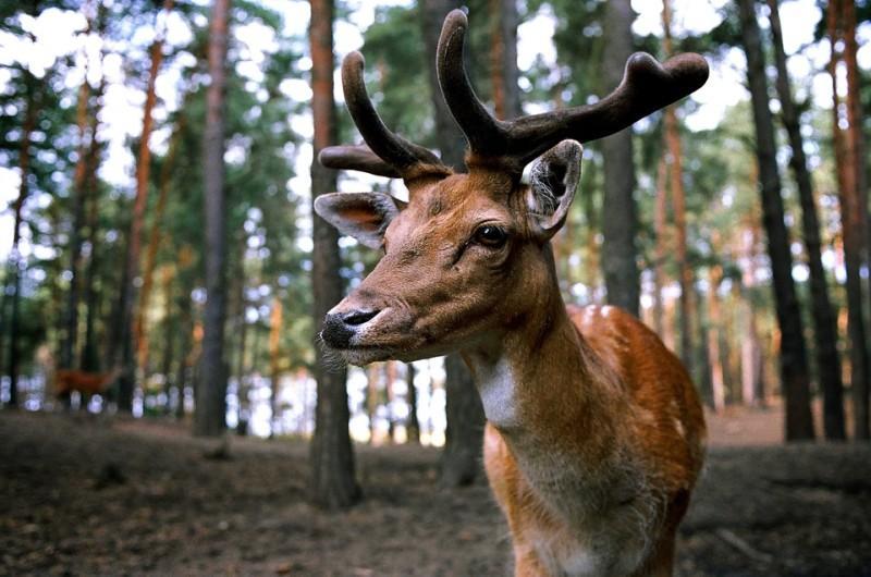 Приморский бизнесмен начал разводить оленей на полуострове Суслова