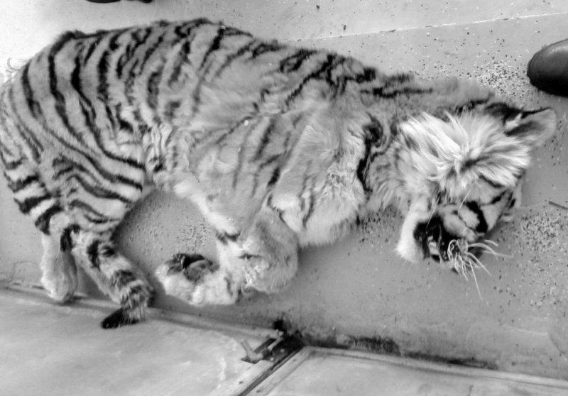 В Приморье раненый тигр просил помощи у людей
