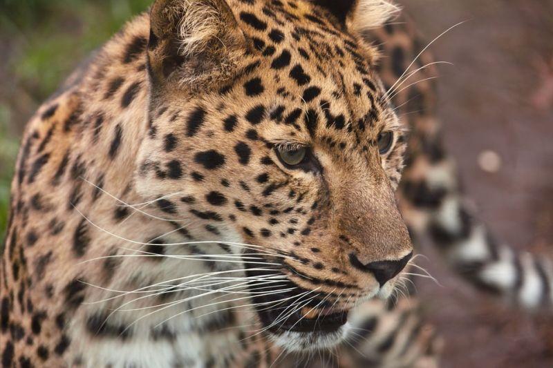 Впервые в истории любовные игры дальневосточных леопардов попали на фото