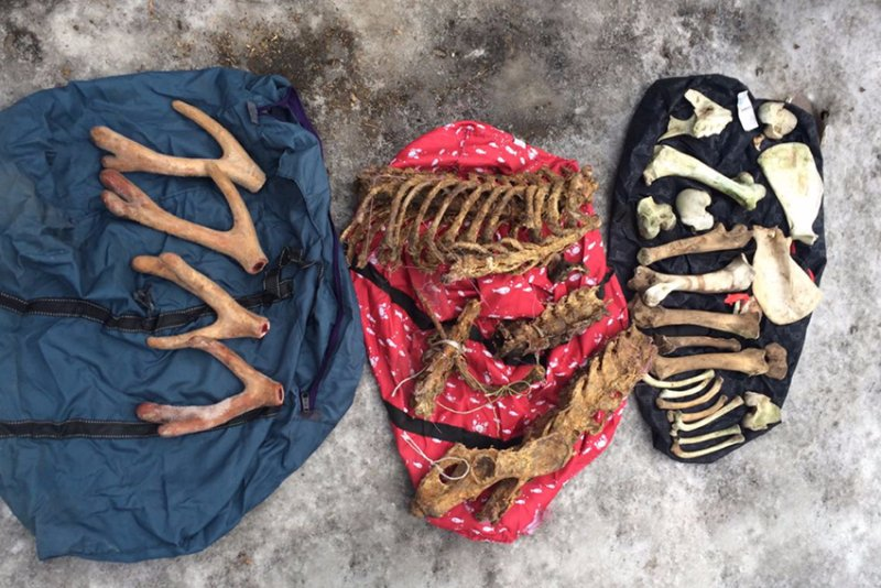 В Приморье у гражданина Китая изъяли кости амурского тигра