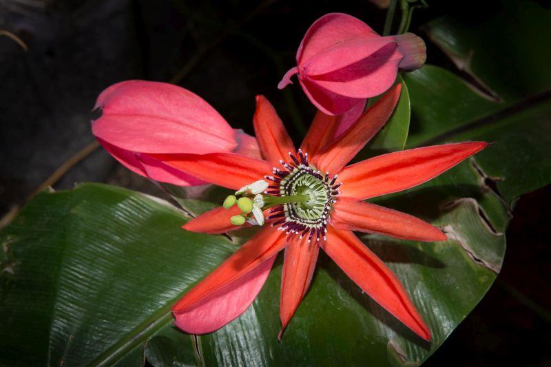 «Воплощение страданий Христа»: в Приморском океанариуме цветёт алая пассифлора