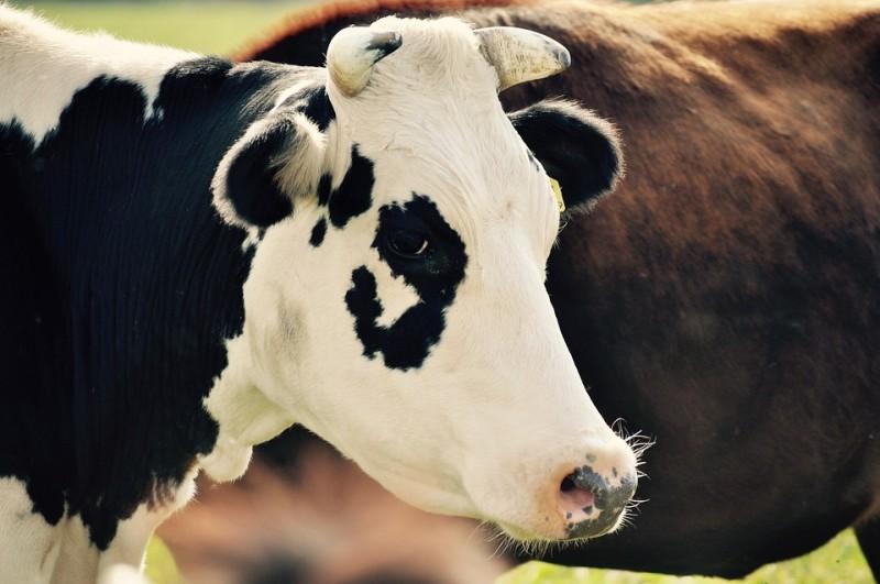 Удар грузовика превратил корову в кровавое месиво в Приморье — очевидцы