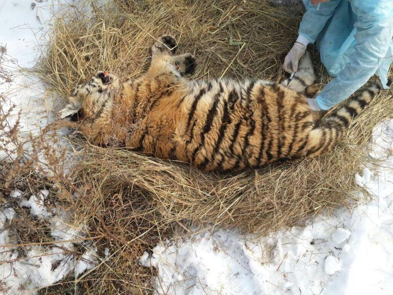 Раненый в Приморье тигрёнок пошёл на поправку