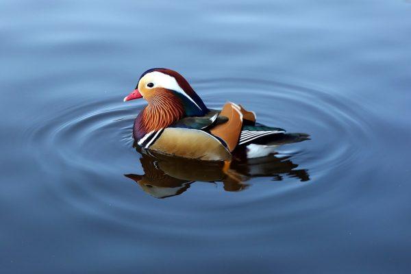 утка-мандаринка, птица