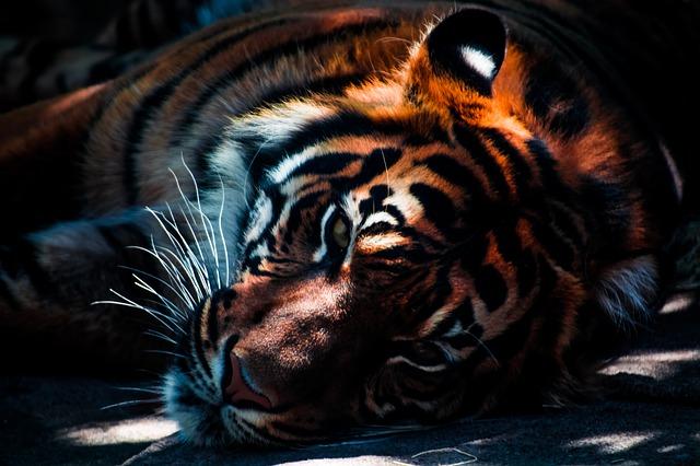 В Приморье пограничники обнаружили и изъяли шкуру амурского тигра