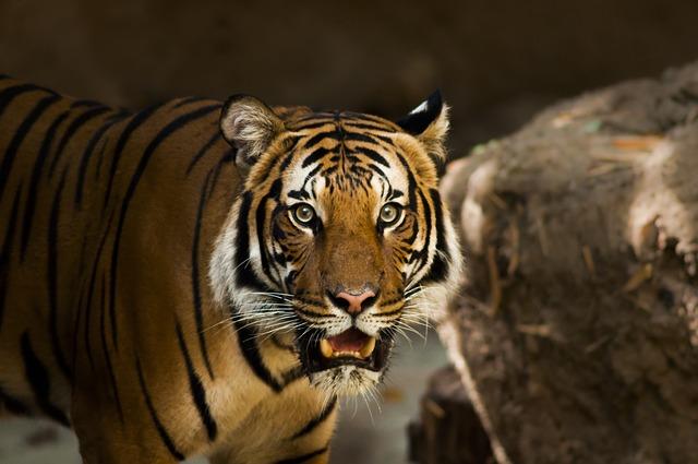 В одной из колоний Приморья появился фонтан в виде пары тигров