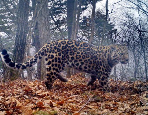 Выживший после схватки леопард вновь попал в объективы фотоловушек