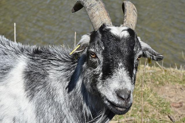 Тигрица Уссури и козёл Тур заняли апартаменты Амура и Тимура