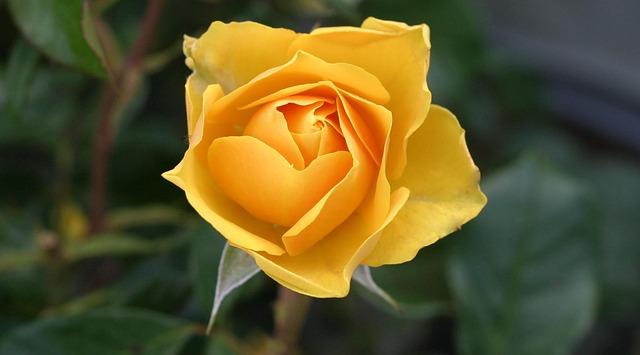 Розы расцвели в Ботаническом саду Владивостока