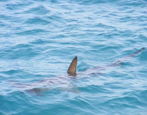 «Дельфин или акула»: приморцы спорят о том, кого именно заснял на видео рыбак