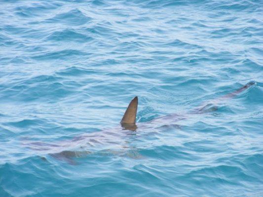 В Приморье в районе мыса Вятлина заметили акулу
