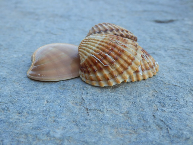 Гребешок, море, морепродукты