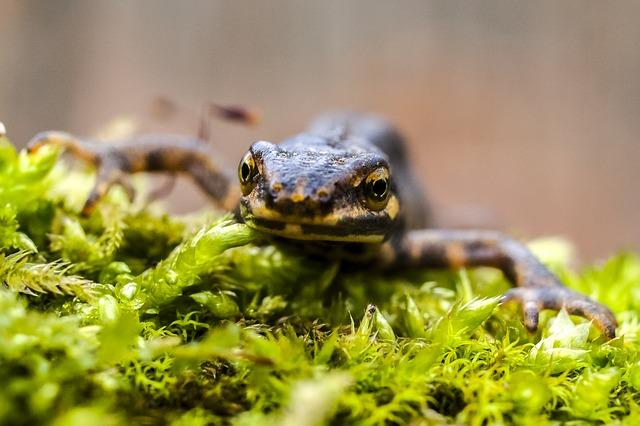 «Смесь лягушки со слизнем»: жители Приморья удивились, увидев на улице тритона
