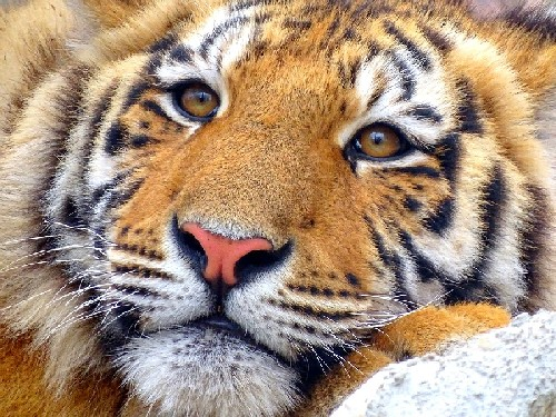 Во Владивостоке инспектор ДПС «поймал» тигра