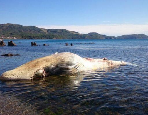 Специалисты установят причины гибели кита, труп которого обнаружили в Приморье