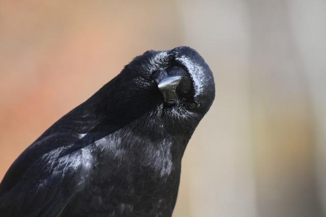 В Приморье ворона запела и заговорила