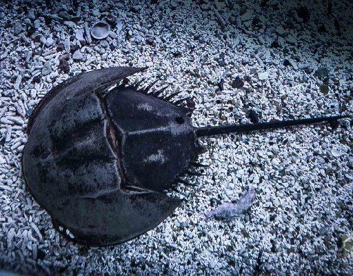 В Приморский океанариум заселились ещё пять мечехвостов