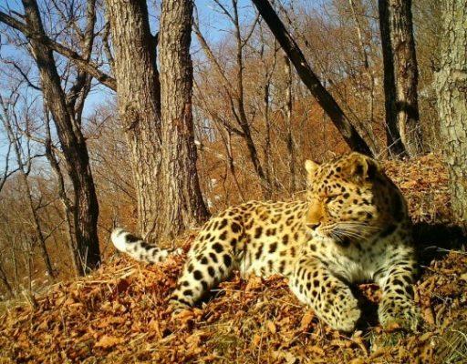В Приморье фотоловушка впервые зафиксировала «пение» дальневосточного леопарда