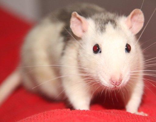 «Общежитие» обнаглевших крыс обнаружили в самом центре Владивостока