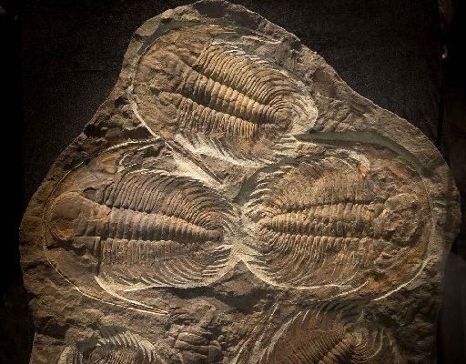 В Приморском океанариуме установили плиту с окаменелостями трилобитов. Ей около 540 миллионов лет