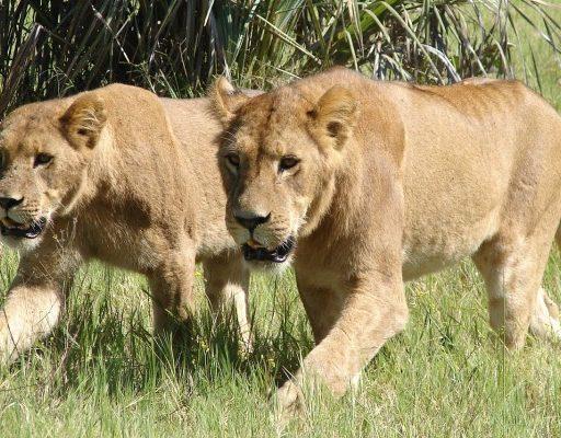 «Крымские» африканские львы поселились в «Приморском сафари-парке»