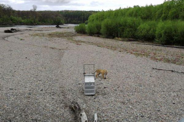 Стало известно, где именно в Приморье обосновался тигр, гулявший во Владивостоку
